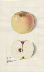 Apples, Austin Sweet (1915)