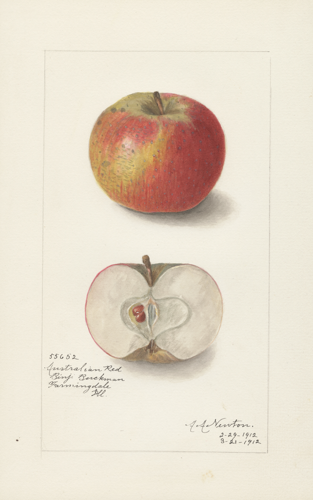 Apples, Australian Red (1912)