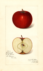 Apples, Babcock (1915)