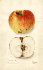 Apples, Yahnke (1904)