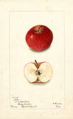 Apples, Yates (1903)