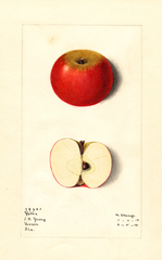Apples, Yates (1915)
