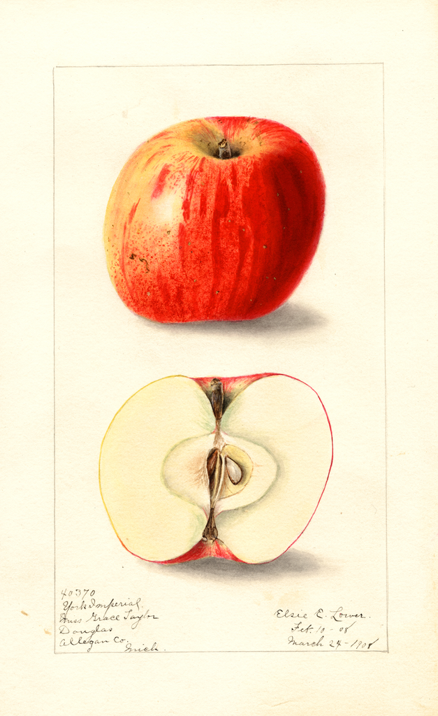 Apples, York Imperial (1908)