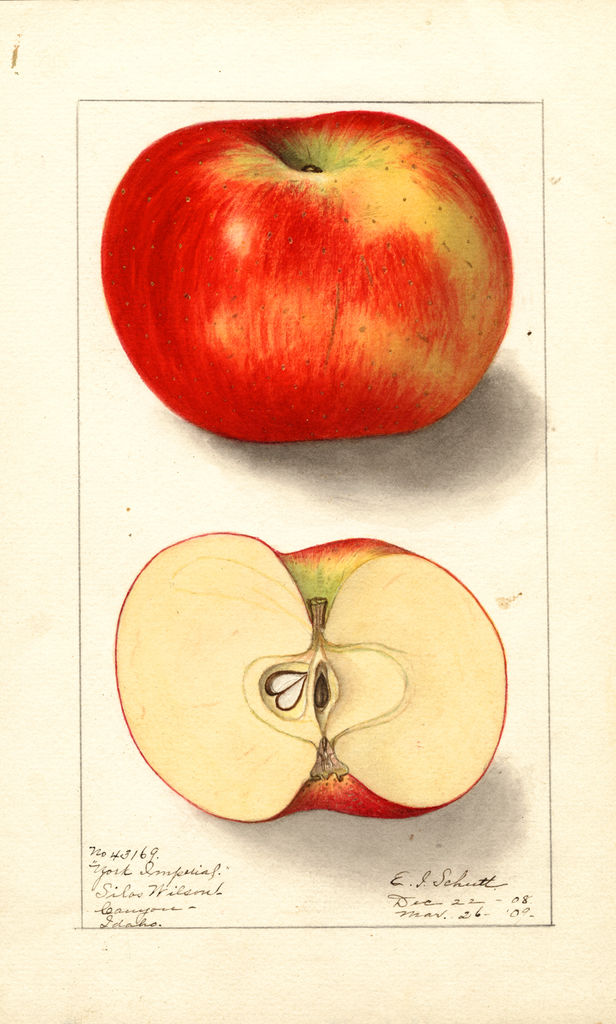 Apples, York Imperial (1909)