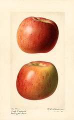 Apples, York Imperial (1921)