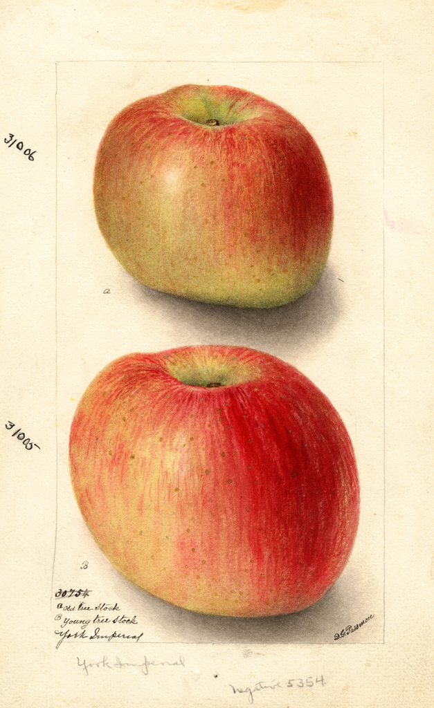 Apples, York Imperial (1904)