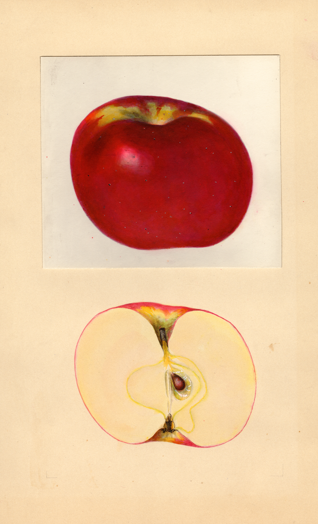 Apples, York Imperial (1937)
