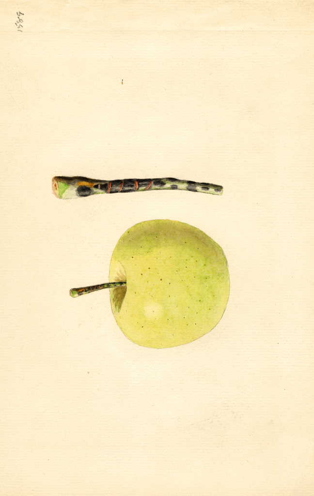 Apples, Golden Delicious (1932)