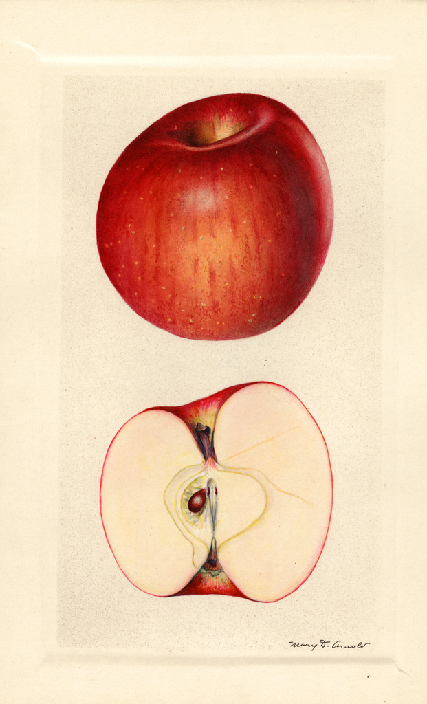 Apples, York Imperial (1929)