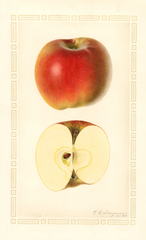 Apples, York Imperial (1927)