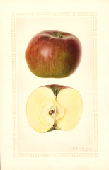 Apples, York Imperial (1931)