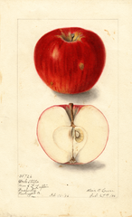 Apples, York Stripe (1906)