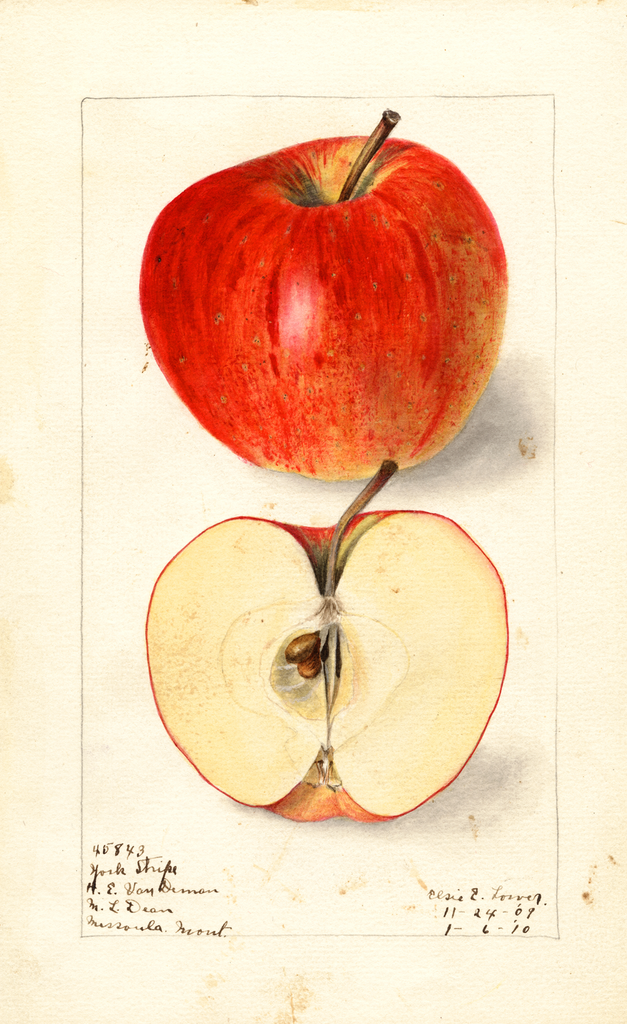 Apples, York Stripe (1910)