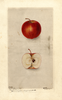 Apples, Akin Red Winter (1900)