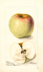 Apples, All Purpose (1900)