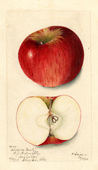 Apples, Alabama Beauty (1903)