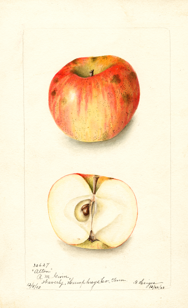 Apples, Alton (1903)