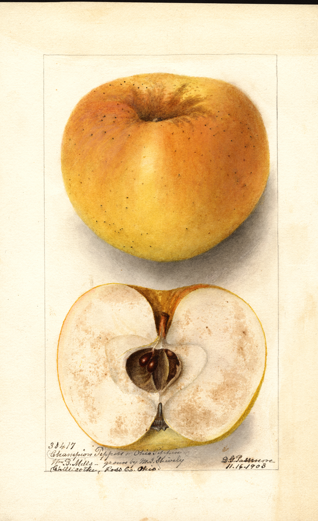 Apples, Champion Pippin (1903)