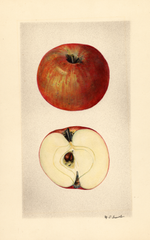 Apples, Ameri Du Surville (1928)