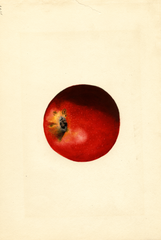 Apples, Baldwin (1927)