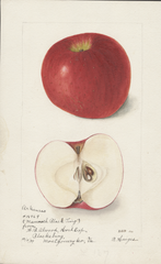 Apples, Arkansas (1899)