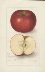 Apples, Arkansas (1906)