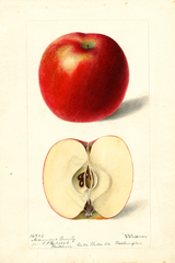 Apples, Arkansas Beauty (1897)