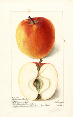 Apples, Arkansas Beauty (1898)