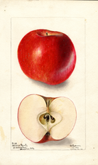 Apples, Arkansas Beauty (1901)