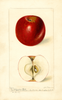Apples, Arkansas Belle (1897)