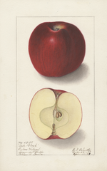 Apples, Arkansas Black (1909)