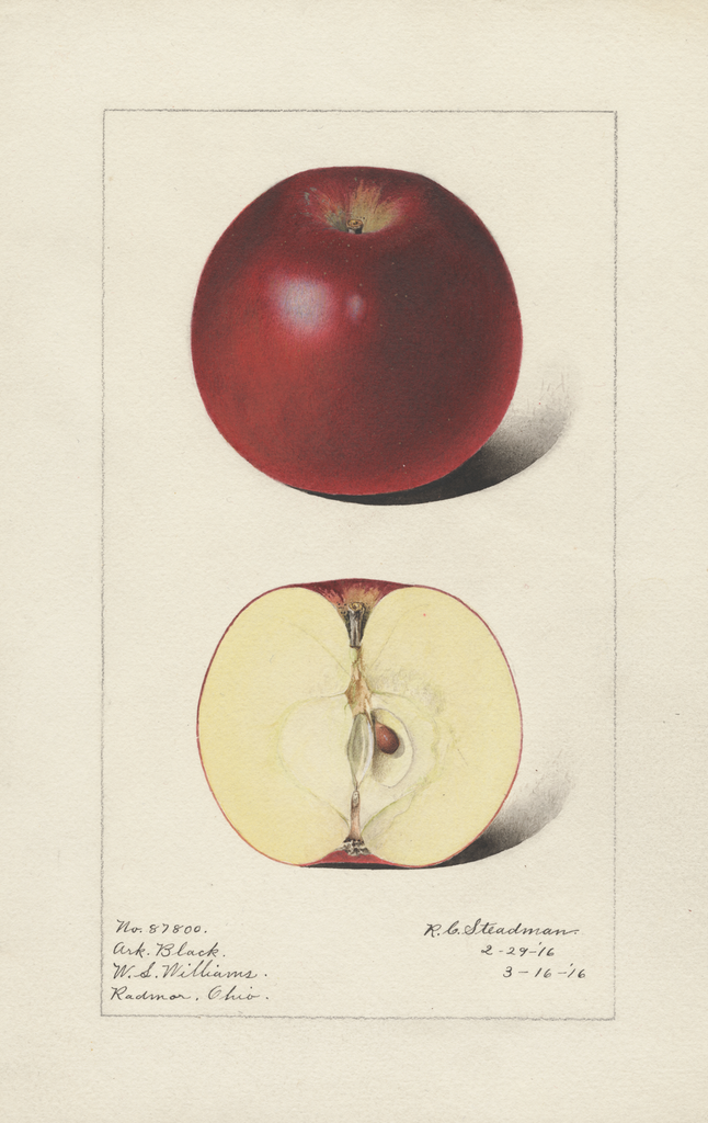 Apples, Arkansas Black (1916)