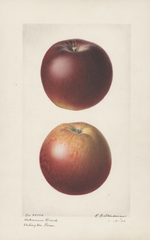 Apples, Arkansas Black (1921)
