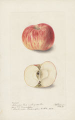 Apples, Arkansas Red (1899)
