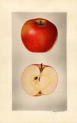 Apples, Arkansas Beauty (1927)
