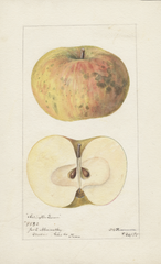 Apples, Arlington Queen (1895)
