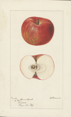 Apples, Armintrout (1895)