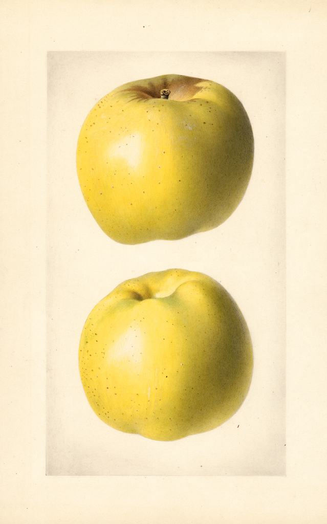Apples, Yellow Newtown (1922)