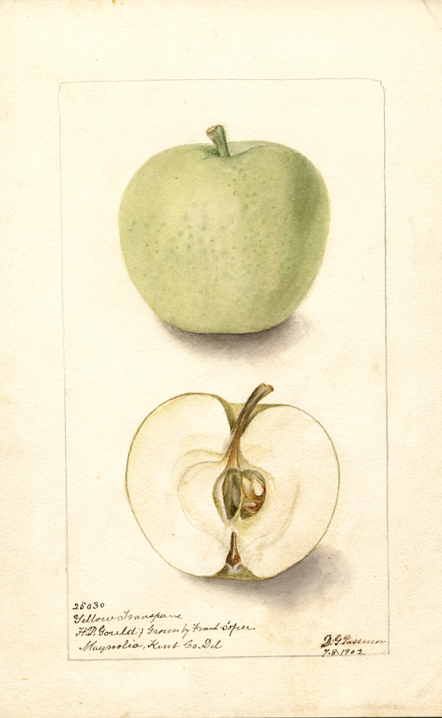 Apples, Yellow Transparent (1902)