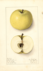 Apples, Yellow Transparent (1910)