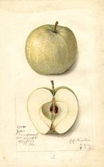 Apples, Yellow Transparent (1912)