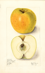 Apples, Yellow Washington (1911)