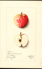 Apples, Williams (1913)