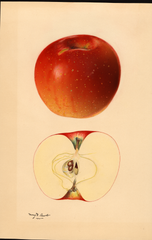 Apples, Willowtwig (1931)