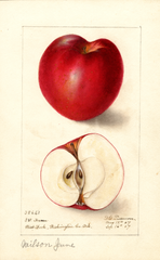Apples, Wilson June (1907)