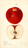 Apples, Winesap (1895)