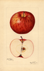Apples, York Stripe