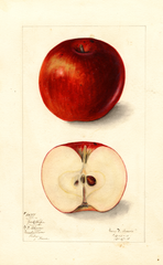 Apples, York Stripe (1911)