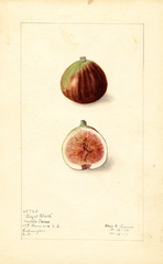 Figs, Royal Black (1912)