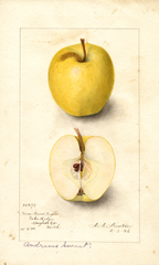 Apples, Andrews Sweet (1906)